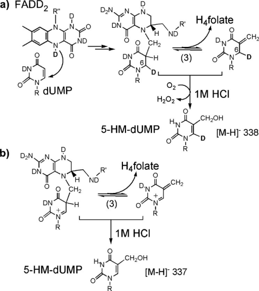 Acid Trapping of the Proposed Intermediatesin the Reaction withDeuterium-Labeled Flavin (FADD2)Formationof 5-HM-dUMP in (a)requires oxidation of the reduced intermediates at C6, i.e., lossof a hydron (H+ or D+) and two electrons. Dueto an isotope effect on this nonenzymatic oxidation, the majorityof 5-HM-dUMP is expected to be deuterated. Molecular oxygen has beenproposed as the oxidant,11 since quenchedreactions are exposed to oxygen during quenching.