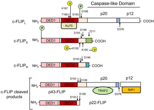 Structures of c-FLIP variants and cleavage products. c-FLIP isoforms (c-FLIPL, c-FLIPS, and c-FLIPR) contain two death effector domains (DED1 and DED2) at their N termini which are required for DISC recruitment. In addition to two DEDs, c-FLIPL has a significant similarity to caspase-8 and has a large (p20) and a small (p12) caspase-like domain which are catalytically inactive. c-FLIPS and c-FLIPR consist of two DEDs and a small C terminus. c-FLIPL can be cleaved by caspase-8 generating the N-terminal fragment p43-FLIP or p22-FLIP. The phosphorylation (P) sites and ubiquitination (U) sites are indicated [35,37,60]. The p20/p12 regions interact with TRAF2 and RIP1, respectively, and Ku70 binds to DED2 [57].