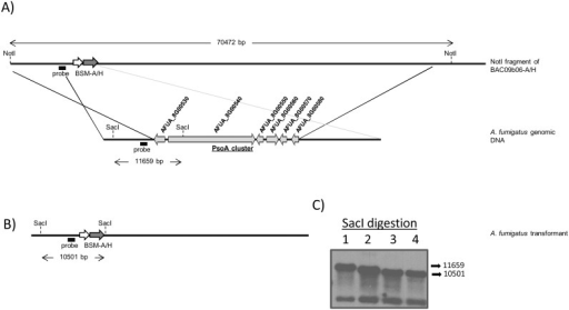 Deletion of the PsoA cluster in A. fumigatus CEA17_ΔakuBKU80.A) Schematic representation of PsoA cluster replacement by BSM-A/H cassette in A. fumigatus CEA17_ΔakuBKU80. B) Expected structure of the replacement locus and C) Southern blot analysis of PsoAcluster deleted mutant and wild type (WT) strains. Expected hybridization band pattern: (1) 11659 bp for WT, and (2, 3, 4) 10501 bp for ΔPsoAcluster mutants.