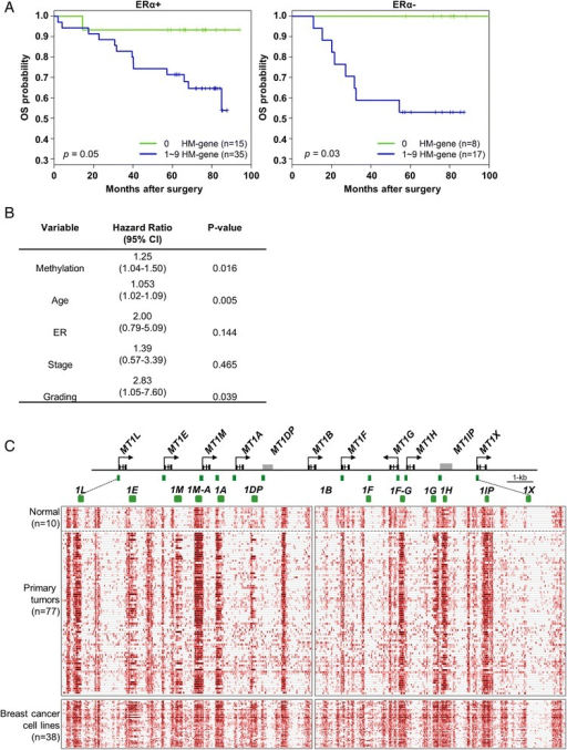 DNA methylation is associated with poor survival in MT1 gene cluster regardless of ERα status of patients. (A) Kaplan-Meier survival curves indicating that MT1 gene cluster hypermethylation is associated with decreased survival in both ERα + and ERα − patients. (B) A table showing the hazard ratios along with 95% confidence intervals and statistical significance for methylation along with other covariates. The groups are the same as the ones used for Figure 4A and MT1 cluster in Figure 2B, that is, patients showing hypermethylation in one to nine MT1 genes in the cluster are grouped together. (C) A heat map showing methylation of MT1 gene cluster for normal breast tissue, breast tumors, and breast cancer cell lines. Dashed-line squares highlight differentially methylated regions in these samples. Note that MT1 gene cluster consists of nine loci (MT1L, E, M, A, B, F, G, H, and X) and two pseudogenes (MT1DP and IP) as outlined in the genomic map above the methylation profile.