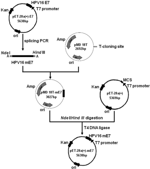 Construction of the pET-28a(+)-mE7 plasmid. The HPV16 mE7 gene was amplified by splicing overlap extension PCR using pET-28a(+)-E7 as a template. The mE7 gene was then directly inserted into a pMD18T vector to form pMD18T-mE7. The pET-28a(+) and pMD18T-mE7 vectors were each digested with restriction endonucleases NdeI and HindIII. Subsequent to purification with electrophoresis in a 2% agarose gel, mE7 and pET-28a(+) were ligated with T4 DNA ligase to yield the expression plasmid pET-28a(+)-mE7. PCR, polymerase chain reaction; HPV, human papillomavirus; ori, origin of replication; mE7, mutant non-transforming HPV16 E7.