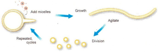 Schematic diagram of cyclic multilamellar vesicle growth and division (taken from [34]).
