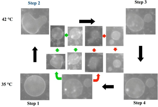 A series of snapshots of the budding process of a binary vesicle composed of DLPE/DPPC = 2/8. The budding cycle consists of four steps: (1) sphere; (2) budding; (3) complete budding; and (4) recovery of the spherical shape. The green and red pathways show the budding of the second daughter vesicle and the granddaughter vesicle, respectively. The scale bar indicates 5 μm.