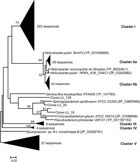 A neighbor-joining tree of the UreC sequences recovered from rumen digesta. The consensus tree was constructed from amino acid sequences inferred from the ureC sequences recovered from rumen and known bacterial species. Bootstrap values were calculated from 1,000 trees. Only bootstrapping values greater than 50% are shown.