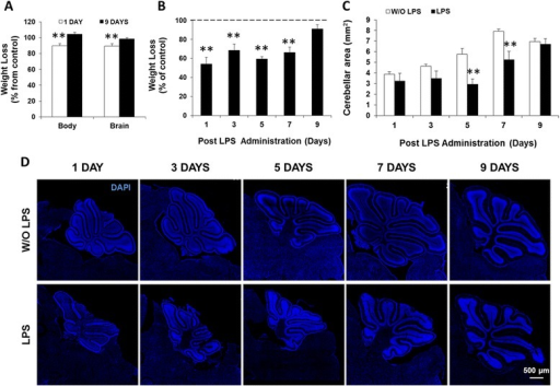 Early lipopolysaccharide (LPS) administration causes transient body and brain weight loss and decreases the cerebellar area. (A) Body and brain of CD1 wild-type mice were weighed at 1 and 9 days post-LPS administration. (B) Body weight of C57BL/6 (B6) CX3CR1gfp/+ mice was assessed at days 1/3/5/7/9 after LPS injection. (C) Cerebellar area was measured in tiled confocal images of brain sections from B6 CX3CR1gfp/+ mice at days 1/3/5/7/9 post-LPS (representative images with DAPI in (D). Results are mean ± SEM from at least four animals. **P < 0.01 vs. without (W/O) LPS.