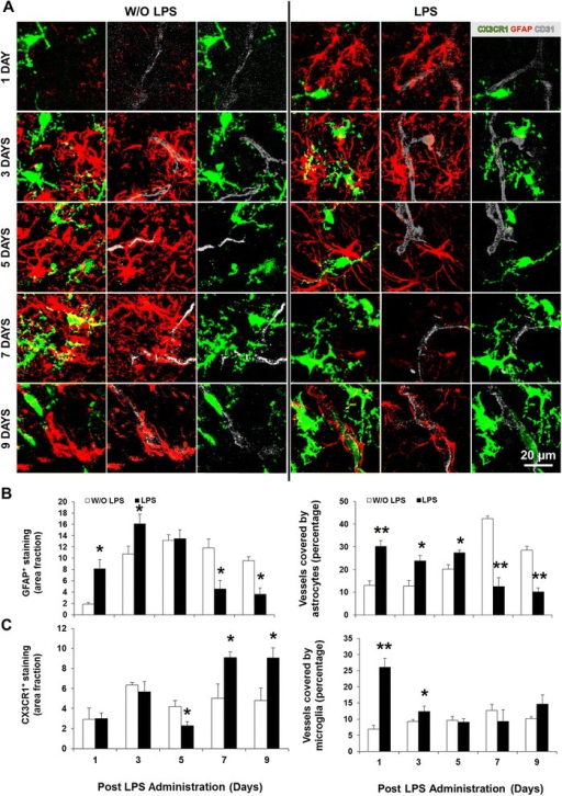 Early increased vessel coverage by glia is followed by delayed astrocytic loss and parenchymal microgliosis. Brain cryosections of C57BL/6 CX3CR1gfp/+ mice at days 1/3/5/7/9 post-lipopolysaccharide (LPS) administration were immunolabeled for astrocytes (glial fibrillary acidic protein, GFAP, red) along with vessel marker CD31 (cluster of differentiation 31, gray). Representative confocal images of glia-endothelium interactions in pons are displayed in (A). (B,C) Area fraction per field of GFAP and CX3CR1 (green) positive staining, as well as their respective colocalization with the vessels were determined by ImageJ software (NIH, USA). Results are mean ± SEM from at least four animals. *P < 0.05 and **P < 0.01 vs. without (W/O) LPS.