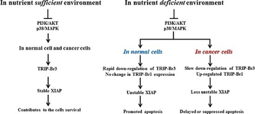 Summary model showing the coordinated regulation by TRIP-Br3 and TRIP-Br1 with anti-apoptotic functions in normal and cancer cells in response to serum deprived condition