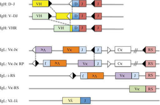 Schematic of antibody H and L chain gene rearrangements. The full range of rearrangement products that can be generated at the H chain and L chain loci is shown. In the case of the heavy chain locus (IgH), there are three kinds of rearrangements: D to J rearrangements, V to DJ rearrangements and VH replacements (VHR). Note that all H chain rearrangements are deletional and that once a complete VDJ rearrangement has taken place, all of the D gene segments are consumed. During VH replacement, an upstream VH gene can invade into a pre-existing VDJ rearrangement via a cryptic heptamer (white triangle) that is located in the 3′ end of most VH genes. VH replacement has the potential to elongate the CDR3, because the 3′ end of the preceding VH gene is usually retained in the rearrangement. For the L chain loci (IgL), the kappa locus can undergo primary Vκ–Jκ rearrangement, leapfrogging rearrangement or recombining sequence (RS) deletional rearrangement. In the case of the leapfrogging rearrangement shown, rearrangement of an upstream Vκ gene to a downstream Jκ gene occurred by inversion. Inversional rearrangement retains the original Vκ–Jκ rearrangement on the chromosome in an inverted orientation. This remnant rearrangement is referred to as a reciprocal product. The κ locus can also undergo deletion by rearrangement to RS, a non-coding sequence that is approximately 25 kb downstream of Cκ. RS rearrangement can occur via the cryptic heptamer in the JC intron (i-RS) or by deletional rearrangement of a Vκ gene to RS. Both types of rearrangements inactivate the κ locus by deletion of the constant region exon, Cκ. Finally, lambda (λ) L chain rearrangement can occur. Most λ-expressing B cells have undergone RS deletion on one or both κ alleles. All of these rearrangements can be tracked and used to evaluate clonality, particularly in hybridoma studies (see text). Squares indicate exons, triangles recombination signal sequences, fused triangles represent signal joins and fused boxes indicate coding joins. Dashed lines indicate regions where recombining gene segments come together.