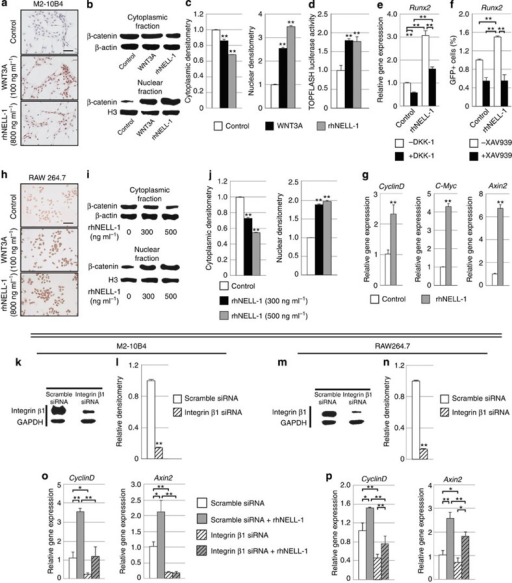 NELL-1 requires integrin β1 to activate Wnt/β-catenin signalling.(a–d) RhNELL-1 increases Wnt signalling in the M2-10B4 BMSC line. (a) Active β-catenin immunocytochemistry in M2-10B4 cells, treated with rhNELL-1, WNT3A or control (PBS). (b,c) Western blot analysis and quantification of cytoplasmic and nuclear β-catenin (N=3 wells per treatment). (d) M2-10B4 cells were transfected with TOPFLASH reporter (N=4 wells per treatment). (e,f) RhNELL-1 requires intact Wnt/β-catenin signalling for induction of OB differentiation (N=4 wells per treatment). (e) M2-10B4 cells were treated with PBS or rhNELL-1 with or without DKK-1 for 3 days. Runx2 expression measured using qRT–PCR. (f) M2-10B4 cells were transduced with Runx2-EGFP reporter lentivirus and treated with PBS or rhNELL-1 with or without XAV939. Runx2 reporter assay was performed after 3 days. (g–i) RhNELL-1 increases Wnt signalling in the RAW264.7 osteoclast cell line (N=3 wells per treatment). (g) Gene expression after 2 days with or without rhNELL-1. (h) Active β-catenin immunocytochemistry in RAW264.7 cells, treated with rhNELL-1, WNT3A or control (PBS). (i,j) Western blot and quantification with or without rhNELL-1. (k–p) RhNELL-1 requires integrin β1 to activate Wnt/β-catenin signalling (N=3 wells per treatment). (k,l) siRNA-mediated knockdown of the known NELL-1 receptor integrin β1 was performed in M2-10B4 cells, confirmed by western blot analysis and quantification. (m,n) Similar siRNA-mediated knockdown of integrin β1 was performed in RAW264.7 OC cells. (o,p) After 2 days of rhNELL-1 (300 ng ml−1) treatment, Wnt signalling gene expression was evaluated in either scramble or integrin β1 siRNA-treated M2-10B4 or RAW264.7 cells. Quantitative RT–PCR for CyclinD and Axin2 was performed. Black scale bars, 100 μm. Data points indicate the means, while error bars represent one s.e.m. In vitro experiments were performed in biological triplicate, unless otherwise described. Parametric data were analysed using an appropriate Student's t-test or a one-way ANOVA, followed by a post hoc Tukey's test. Nonparametric data were analysed with a Mann–Whitney U-test or a Kruskal–Wallis one-way analysis. *P<0.05, **P<0.01.