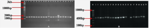 PCR amplification of (A) iaaM gene and (B) chiC gene for endophytic actinomycetes isolates. M: low range (100bp -3 kb) molecular marker; N: negative control; numerical numbers represents different isolates.