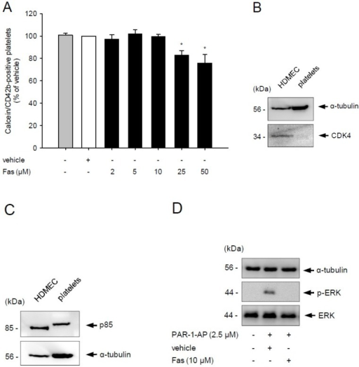 Effect of fascaplysin on platelet viability and PI3K signaling. (A) Washed platelets (WP) were incubated with different concentrations of fascaplysin (black bars, n = 4) or vehicle dimethyl sulfoxide (DMSO), white bars, n = 4) for 0.5 h. Untreated platelets served as negative control (grey bars, n = 4). Platelet viability was assessed by flow cytometry. Data are given in % of vehicle. Mean ± SEM. * p < 0.05 vs. vehicle; (B,C) Western blot analysis of CDK4, p85 and α-tubulin expression in untreated human dermal microvascular endothelial cells (HDMEC) and WP. The shown Western blots are representative of experiments conducted in triplicate; (D) Western blot analysis of ERK, p-ERK and α-tubulin expression in WP, which were incubated with 10 μM fascaplysin for 0.5 h followed by stimulation with protease-activated receptor-1-activating peptide (PAR-1-AP). The shown Western blots are representative of experiments conducted in triplicate.