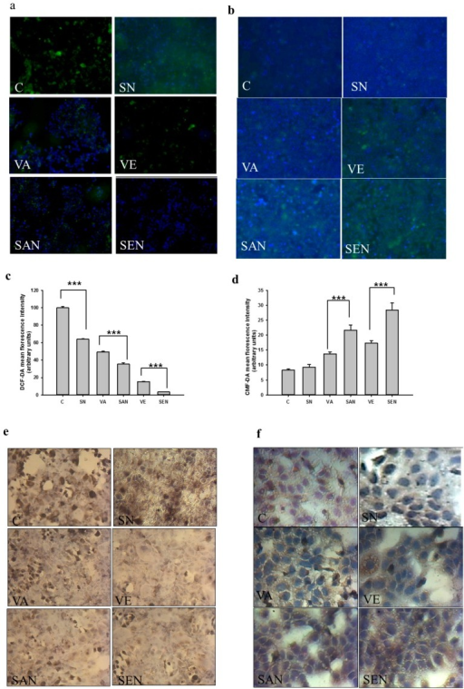 Effect of nanoemulsion on the cellular redox status of AML-12 cells exposed to H2O2. (a) Cells were co-treated with H2O2 and stained with DCF-DA; (b) The CMFDA fluorescence probe revealed GSH levels in AML-12 cells. Images were obtained under fluorescence microscopy from three separate experiments; (c) Quantification of DCF-DA fluorescence intensity using ImageJ software; (d) The mean fluorescence intensity of GSH was measured using ImageJ software; (e) GSSG expression in different groups was analyzed by immunocytochemistry. Images were obtained by light microscopy; (f) Effect of nanoemulsion on NADPH level was tested by immunocytochemistry. Images were obtained by light microscopy. C, control; SN, empty saponin nanoemulsion; VA, vitamin A; SAN, saponin nanoemulsion of vitamin A; VE, vitamin E; SEN, saponin nanoemulsion of vitamin E. All values are represented as mean ± SEM from three or more independent studies. *** p < 0.001.