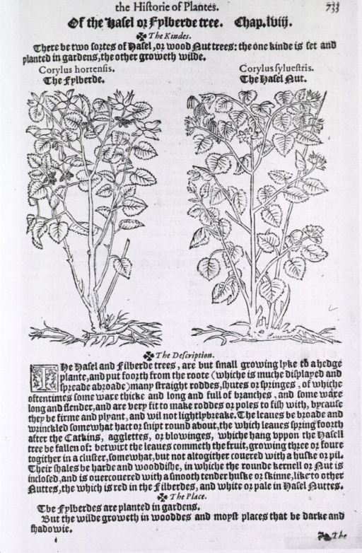 <p>Illustrations of the filbert and hazel nut with text.</p>