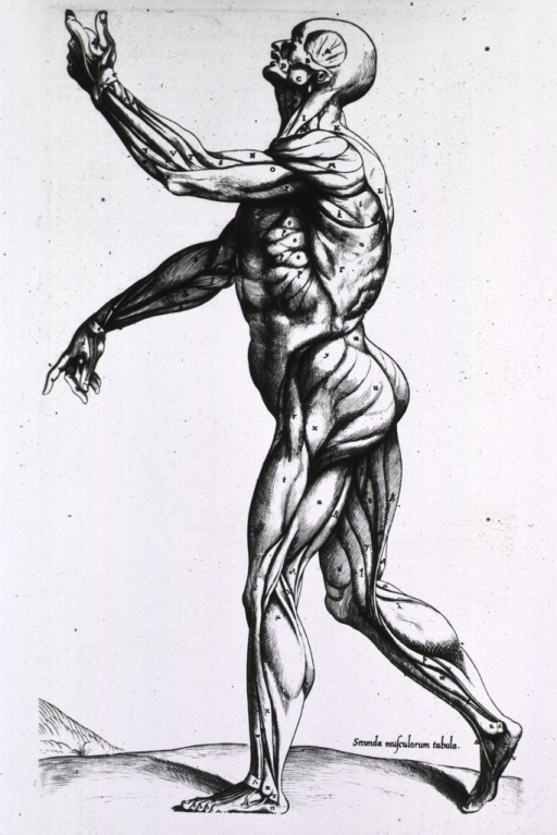 <p>Full length left profile view, standing, of human figure with musculature defined.</p>