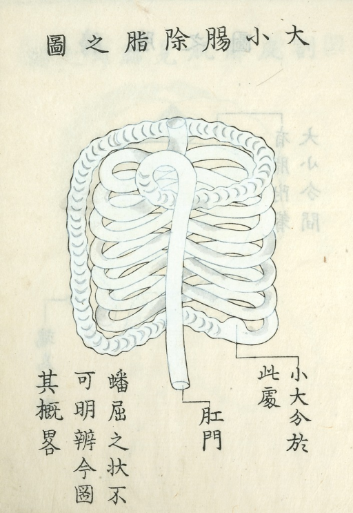 <p>Drawing of small and large intestines after removing fat. Kaishi hen, 21a.</p>