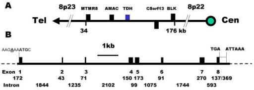 Chromosomal localisation and gene structure of the human TDH gene. (A) The human TDH gene is located at 8p23 and the neighbouring genes are: myotubularin related protein 8, MTMR8: acyl-malonyl condensing enzyme, AMAC: threonine dehydrogenase, TDH: hypothetical protein, C8orf13; B lymphoid tyrosine kinase, BLK. Genes encoded by + and - stands are shown above and below the line respectively. The telomeric and centromeric directions are indicated. (B) The human TDH gene spans 10 kb and consists of 8 exons. The putative initiation methionine codon, stop codon and poly-adenylation signal are shown. Closed boxes indicate the ORF and the sizes (in bp) of the exons and introns are indicated.