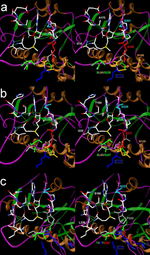 Lowest-energy docking solutions obtained for a) 1gz0, b) 1ipa, c) 1k3r. AdoMet and selected important residues are shown in the wireframe representation and labeled. The label for the invariant Arg side chain, provided by the second monomer, is boxed. The rest of the protein is shown in a schematic representation (brown helices, green strands and purple loops). Selected sidechains are colored according to their physicochemical properties (Arg and Lys – blue; Glu – red; Thr and Ser – green; aliphatic (Pro, Val, Leu) – gray; Gly – cyan). For the residues that bind the cofactor and for the cofactor itself, the following color scheme is used: C – white, O – red, N – blue, S – yellow). Predicted hydrogen bonds are shown as green broken lines.