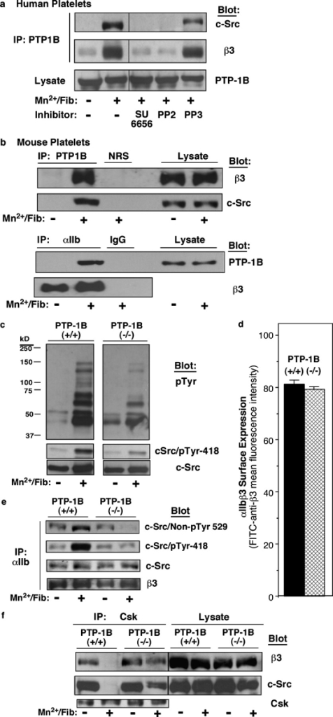 Interactions between PTP-1B, αIIbβ3, and c-Src in platelets. (a) Washed human platelets were incubated for 15 min at RT with 250 μg/ml fibrinogen in the presence or absence of 0.5 mM MnCl2. Some samples were preincubated for 15 min with 2 μM SU6656, 5 μM PP2, or 5 μM PP3; the latter is an inactive congener of PP2. Clarified lysates were immunoprecipitated (IP) and probed on immunoblots as indicated. Vertical lines in the blots indicate grouping of images from different parts of the same gel. (b) Washed mouse platelets were incubated with MnCl2 and fibrinogen, and immunoblots of immunoprecipitates were probed as in a. Control immunoprecipitations used normal rabbit serum (NRS) or rat IgG (IgG). (c) Role of PTP-1B in platelet tyrosine phosphorylation. Fibrinogen binding to PTP-1B+/+ and PTP-1B−/− platelets was induced as in b. Lysates were immunoblotted with antibodies to phosphotyrosine (pTyr) or c-Src phosphotyrosine 418 and reprobed with antibodies to c-Src. (d) αIIbβ3 surface expression in PTP-1B+/+ (black bar) and PTP-1B−/− (hatched bar) platelets was quantified by flow cytometry. Mean fluorescence intensities are depicted in arbitrary units, and error bars represent means ± SEM of three experiments. (e) PTP-1B is required for activation of integrin-associated c-Src. Fibrinogen binding to PTP-1B+/+ and PTP-1B−/− platelets was induced as in b, and αIIbβ3 immunoprecipitates were probed on immunoblots as indicated. (f) PTP-1B is required for dissociation of Csk from the αIIbβ3–c-Src complex. Fibrinogen binding to PTP-1B+/+ and PTP-1B−/− platelets was induced as in b, and Csk immunoprecipitates were probed on immunoblots as indicated. Each immunoblot panel is representative of three to five independent experiments.