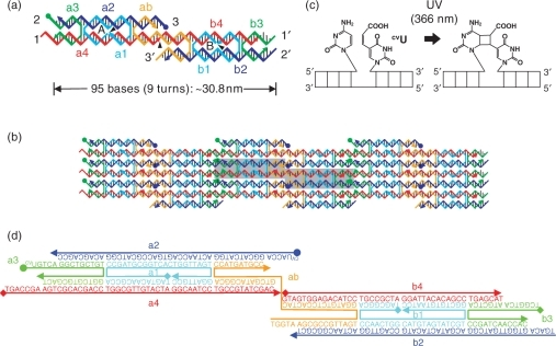 Design of a DXAB tile and arrangement into a 2D DNA array. (a) Strand structure of the DXAB tile for construction of heat-resistant 2D DNA arrays. Complementary sticky-end pairs are labeled as n and n′ (n = 1, 2, 3). Arrowheads at the ends of strands indicate the 3′-terminals. Black triangles indicate nicks in the strands. The solid circles at the 5′-ends represent CVU bases. (b) The lattice topology of a 2D DNA array produced by the DXAB tiles. The strand color is the same as that used in (a). The reverse side of the tile is designated by a gray rectangle. (c) Template-directed DNA photoligation with CVU. (d) The sequences of the DXAB tile. The solid rhomboids at the 5′-ends represent phosphorylation.