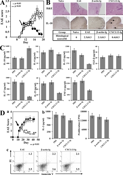 CXCL12-Ig suppresses ongoing EAE. (A) C57BL/6 female mice were subjected to active induction of EAE (MOGp35-55/CFA), and just after the onset of disease (day 11), they were separated into equally sick groups (n = 6 mice each). On days 11, 13, 15, and 17, these groups were injected i.v. with either PBS (open circles), CXCL12-Ig (closed circles), or β-actin–Ig (open squares) and were monitored for the progression of disease by an observer blind to the experimental protocol. Results of one out of three independent experiments (n = 6 mice per each group) are shown as the mean maximal score ± SE. The arrow indicates the first day of CXCL12-Ig administration. (B) On day 20, three representative mice from each group were subjected to histological analysis of the lumbar spinal cord (eight sections per sample). A scale ranging from 0 to 3, based on the number of perivascular lesions per section, was used to quantify the histological score of disease, as described in Materials and methods. The table presents the quantification analysis of these sections, and a representative section from each group is also shown. Representative sections were also subjected to immunohistochemistry for IL-10. Arrows indicate cells stained positive for IL-10. Bars, 200 μm. (C) In a subsequent experiment, conducted under the same experimental protocol, mice were killed on day 15, and spleen cells from each group were cultured in the presence of their target antigen (MOGp35-55). After 24 h, levels of IL-10, IL-4, TGF-β, IL-12, IL-17, IL-23, and TNF-α were recorded by ELISA. Results are shown as the mean of triplicates ± SE. (D, a) C57BL/6 female mice were subjected to active induction of a long-term form of disease (reference 21), and just after the onset of disease they were separated into equally sick groups (n = 6 mice each). Twice a week, these groups were injected i.v. with PBS (closed circles), CXCL12-Ig (open circles), or β-actin–Ig (open squares) and monitored for the development and progression of disease by an observer blind to the experimental protocol. Results of one out of three independent experiments (n = 6 mice per each group) are shown as the mean maximal score ± SE. The arrow indicates the first day of CXCL12-Ig administration. (b) Just before the peak of disease (day 24), primary T cells from the cervical lymph nodes of PBS-, β-actin–Ig–, and CXCL12-Ig–treated mice were subjected to MOGp35-55-induced activation. The proliferative response and levels of IL-2 were recorded. (c) Apoptosis in CD4+ T cells in these cultures was determined by flow cytometry using Annexin V/PI staining (percentages are shown).