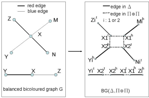 Reduction of BGD to DCJ double distance problem. The left hand graph is the balanced bicoloured graph G, and the right hand graph represents the adjacencies of the duplicated genomes Δ and Π ⊕ Π. In the case of a degree 2 vertex in G, the adjacencies of Π ⊕ Π are determined, as one solution gives more cycles. In the case of a degree 4 vertex in G, the two possibilities for the adjacencies of Π ⊕ Π are shown (Π ⊕ Π contains either the vertical or horizontal dotted adjacencies).