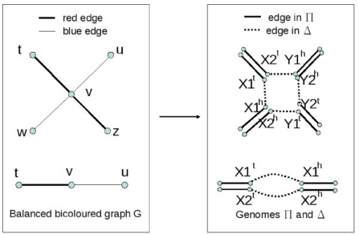 Reduction of BGD to DCJ guided halving problem. The left hand graph is the balanced bicoloured graph G, and the right hand graph represents the adjacencies of the genomes Δ and Π. Adjacencies of Π are doubled in the drawing to be presented with the doubled genes.