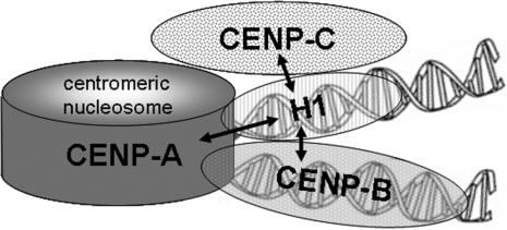 Schematic representation of centromeric chromatin with a CENP-A containing nucleosome. In this model, the internucleosomal linker DNA is alternatively occupied by histone H1 and CENP-B. The arrows indicate the protein associations detected in this study.
