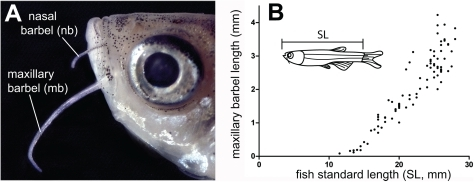 Position and growth of the paired barbels in zebrafish.A) Location of the nasal and maxillary barbels (nb and mb) on a wild type adult zebrafish (AB strain). B) Growth curve for the maxillary barbel in a wild type AB strain reared at 28°C. Barbel length (n = 183) was measured in 135 zebrafish of different standard lengths (SL+/−0.5 mm). Each data point represents a single barbel (the right and/or left appendage). The growth curve is similar to that shown in [60].
