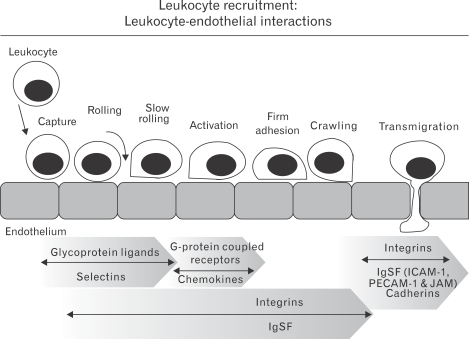 A schematic diagram of the process of leukocyte recruit | Open-i