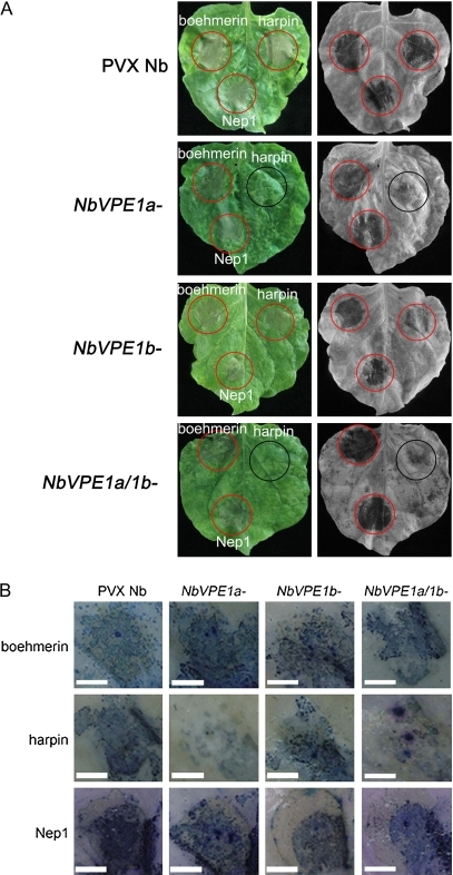 Local induction of hypersensitivity responses with boehmerin (50 nM), harpin (50 nM), and Nep1 (50 nM). (A) Leaves (representative of three replicate treatments) from control PVX, NbVPE1a-, NbVPE1b-, and NbVPE1a/1b-silenced N. benthamiana were infiltrated with the elicitors simultaneously. The red and black circles indicate cell death and no cell death, respectively. Leaves were removed from plants after 3 d of treatment (left panels) and bleached in ethanol (right panels). (B) Trypan blue staining of leaves from control and NbVPE1a-, NbVPE1b-, and NbVPE1a/1b-silenced plants in response to boehmerin, harpin, and Nep1. Responses in the inoculated leaf are shown. Pictures were taken from plants after 24 h of treatment. The experiments were performed in triplicate. Bars, 1 cm.