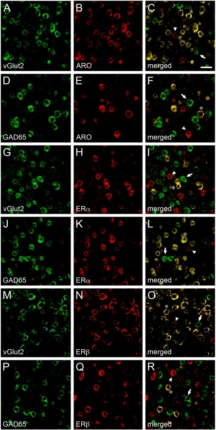 Neurochemical identity and heterogeneity of estrogen-associated circuits in V1.A–F) Images depicting representative dFISH signal in V1 for vGlut2, a marker for excitatory neurons (A) or GAD65, a marker for inhibitory neurons (D), and ARO (B, E) mRNAs. Note that ARO-positive neurons strongly co-localize with vGlut2 (C), but not GAD65 (F), indicating that estrogen-producing cells in V1 are largely excitatory neurons. G–L) Photomicrographs illustrating dFISH labeling for vGlut2 (G) or GAD65 (J), and ERα (H, K). Notably, whereas few ERα-positive neurons are excitatory (I), the vast majority of these cells co-express GAD65 (L), indicating a GABAergic phenotype. M–R) Images depicting dFISH signal for vGlut2 (M) or GAD65 (P), and ERβ (N, Q) in V1. The merged images (O, R) demonstrate that most ERβ-positive cells are excitatory, but not inhibitory, as revealed by co-localization of vGlut2 (O) and GAD65 (R), respectively. For all merged panels (right-most images in the figure plate), representative double-labeled neurons are highlighted by asterisks. Neurons that are exclusively labeled for either neurochemical cell marker, or markers for estrogen-associated circuits, are depicted by arrows and arrowheads, respectively. Scale bar = 25 µm.