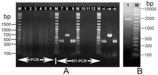 PCR and RT-PCR results from density gradient band. (A) Electrophoresis gel showing PCR and RT-PCR results using primers for Probe 1 (397 bp), Probe 2 (642 bp) and Probe 3 (399 bp) to carry out PCR and RT-PCR reactions with total nucleic acid template extracted from the 21% CsCl band. Lanes 1-6: PCR reactions carried out using template treated with DNase (Lanes 1-3) and RNase (Lanes 4-6) and showing none of the expected amplicons. Lanes 7-12: RT-PCR reactions (Probes 1-3 sequentially) carried out using template treated with DNase (Lanes 7-9) and RNase (Lanes 10-12) and showing amplicons with DNase treatment but not RNase treatment, indicating that the ICE amplicons originated from RNA. Lanes +C, +M and +B = Positive controls for Probes 1 to 3, respectively. Lanes M = DNA ladder marker. (B) Electrophoresis gel showing the predicted 1958 bp amplicon obtained using the forward primer of Probe 1 and the reverse primer of Probe 3.