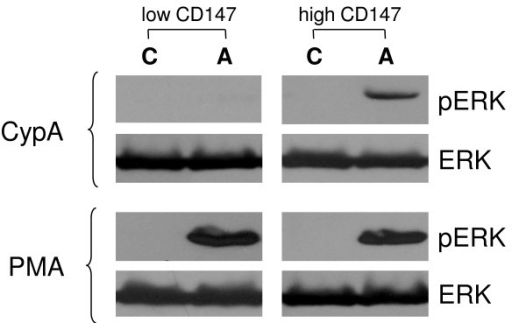 Analysis of Erk activation. Cells with low and high levels of CD147 expression were stimulated (A) or not (C) with CypA or PMA as described in Materials and Methods. Phosphorylated (activated) and total Erks were revealed by Western blotting. Results are presented for one representative experiment out of three performed.