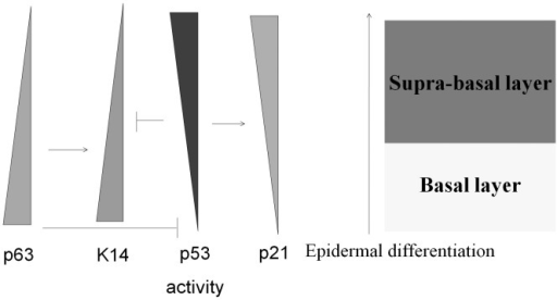 p53 and p63 are involved in the regulation of epidermal differentiation.p63 is used as a stem cell maker because it is persistently expressed in the basal layer of the epidermis and is inhibited during epidermal differentiation. Because p63 only expresses a dominant negative isoform, ΔNp63α, within the epidermal cell basal layer, p53 activity is up-regulated after p63 withdrawn as a result of epidermal differentiation, and p53 downstream targets such as p21 become induced. K14 is a basal layer-expressed keratin subtype and can be up-regulated by p63. During epidermal differentiation, K14 expression is down-regulated by the loss of p63 and is repressed by the activity of p53.