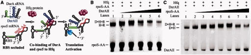Co-binding of rpoS and DsrA to Hfq. (A) Co-binding of Hfq to DsrA sRNA and rpoS mRNA is a possible mechanism of Hfq in mediating DsrA-dependent rpoS translation activation. The A-rich Hfq-binding sequence on rpoS, rpoS-AA [nucleotides 366–400, containing an (AAN)4 and an A6 element], is colored red. The fragment containing U-rich Hfq-binding site and stem loop II of DsrA, DsrAII (nucleotides 26–61, containing the AU6A U-rich Hfq-binding site), is shown in blue. Regions on both RNAs for base paring to each other is colored in green. In EMSA experiment using HfqFL and fluorescence-labeled RNAs, we have observed (B) a supershift to Hfq•rpoS-AA (rpoS-AA was labeled with fluorescent probe) complex on addition of DsrAII and (C) a supershift to DsrAII•Hfq (DsrAII was labeled with fluorescent probe) complex on addition of rpoS-AA, suggesting that a DsrAII•Hfq•rpoS-AA ternary complex may form. Unbound rpoS-AA RNA migrates as two bands (Supplementary Figure S4). Brightness, contrast and gamma adjustments were applied to the whole image. Full images of Figure 1B and C showed in Supplementary Figure S5.
