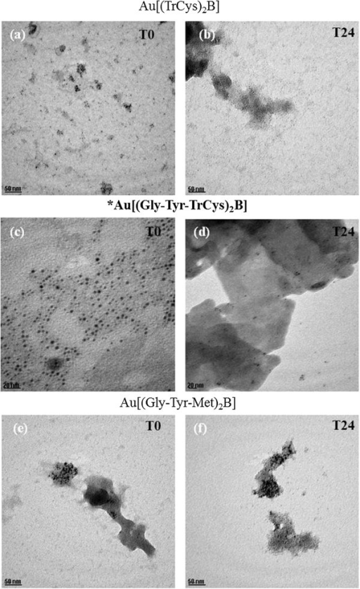 TEM images of AuNPs in EMEM/S- after preparation. (a) Au[(TrCys)2B], (c) Au[(Gly-Tyr-TrCys)2B] and (e) Au[(Gly-Tyr-Met)2B], and at 24 h of incubation; (b) Au[(TrCys)2B], (d) Au[(Gly-Tyr-TrCys)2B] and (f) Au[(Gly-Tyr-Met)2B] [Scale bar (c) and (d) is 20 nm, and for all other images, scale bar is 50 nm]; asterisk and bold letters are used to signal the most stable AuNP.