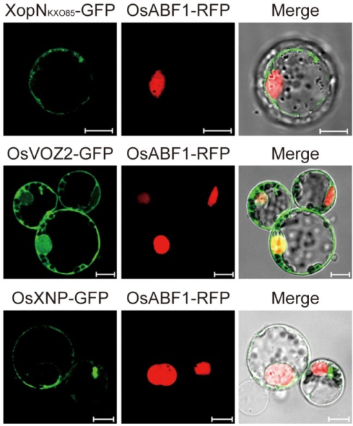 Localization of XopNKXO85, OsVOZ2, and OsXNP in plant cells.Subcellular localization of the XopNKXO85-GFP, OsVOZ2-GFP, and OsXNP-GFP fusion proteins in maize mesophyll cells. OsABF1-RFP was used as a nuclear marker. GFP (green) fluorescence was merged with RFP (red) fluorescence. Bars = 10 µm.