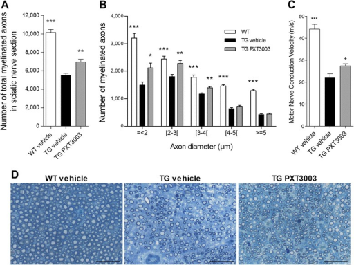 Daily oral treatment of CMT1A rats with PXT3003 improves myelination and electrophysiology. A 4-month PXT3003 treatment (BCL 30 μg/kg, NTX 3.5 μg/kg and SRB 1.05 mg/kg) of TG rats significantly increased the number of myelinated axons in sciatic nerve cross sections (A) mostly in the small to medium sized axon class of myelinated axons (< 4 μm) (B). n = 12, 12 and 15 animals for respectively WT vehicle, TG vehicle and TG PXT3003 groups. (C) 8-month PXT3003 treatment increased the motor nerve conduction velocity of TG rats in sciatic nerve. n = 11, 9 and 7 animals for respectively WT vehicle, TG vehicle and TG PXT3003 groups. (D) Representative images of toluidine blue-stained sciatic nerve cross sections for each group. Scale bar: 25 μm. *,+ P < 0.05; ** P < 0.01; ***P < 0.001 vs TG vehicle; ANOVA with Dunnett's test (except in (C), + t-test). Data are shown as mean + SEM.