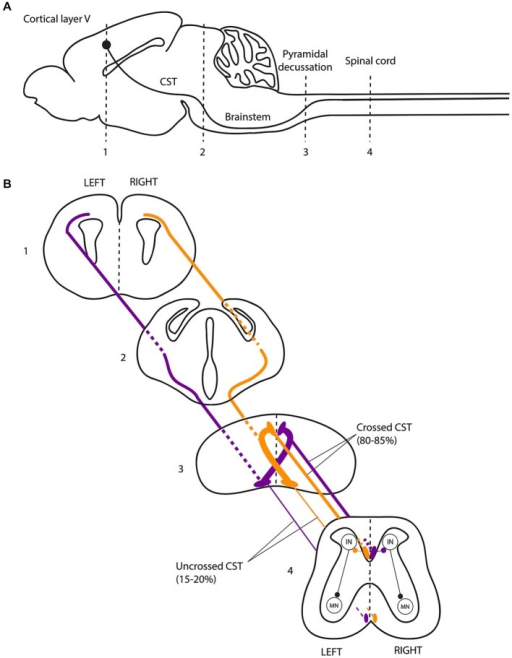 The Corticospinal Tract Forms A Crossed Motor System In
