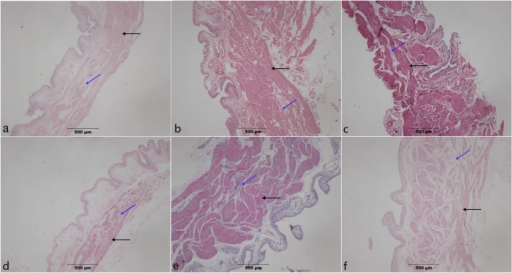 H&E-stained paraffin-embedded rat bladder sections.In PBOO rats, significant detrusor muscle hypertrophy, alongside a progressive increase in fibrosis (dyed pale pink, blue arrow) and loss of normal muscle tissue (dyed purple or red, black arrow)architecture was observable at 4 and 8 weeks of PBOO. Fibrosis was inhibited in the STS group at (a) week 4 in Sham group, (b) week 4 after PBOO, (c) week 4 after PBOO+STS treatment, (d) week 8 after Sham group, (e) week 8 after PBOO, and(f) week 8 after PBOO+STS treatment. The PBOO and STS groups show detrusor hypertrophy and collagen deposition. Original magnifications, ×40.
