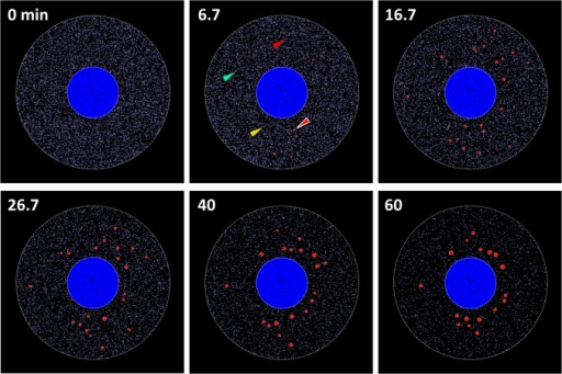 Simulation results of SG assembly.At 0 min, TIA1 (blue dots) distributed diffusely in the cytoplasm. At 6.7 min, several small SGs were assembled (red circles, one of which is indicated by a red arrowhead surrounded by white line). TIA2 (green dots, one of which is indicated by a green arrowhead), TIA3 (yellow dots, one on which is indicated by an yellow arrowhead), and TIA* (red dots, one of which is indicated by a red arrowhead) are also shown. At 16.7 min, SG distributed with no spatial preference. At 26.7 and 40 min, the size of SGs increased, and they gradually localized to the perinuclear region. At 60 min, the number of SG decreased, and the localization around nucleus became evident.
