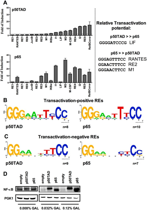 Relative transactivation potential of p50 and p65 homodimers towards a panel of κB Response Elements.A) κB target site preferences of p50TAD and p65 homodimers. Luciferase assays were performed to quantify relative transactivation capacity of p50TAD and p65 homodimers towards 17 different κB-REs. Reporter strains were grown in selective media containing 0.032% galactose for 16 hours reaching near stationary phase. For each isogenic reporter strain, the luciferase activity is calculated as fold-induction with respect to the values obtained with empty vector transformants. The average normalized activity and the standard error of four biological repeats are presented. κB-REs are ranked based on increasing transactivation potential with p50TAD. The same rank is used to plot the results obtained with p65 (lower panel). To the right are presented κB-RE sequences that are selectively responsive to either p50TAD or p65 (see text for sequence match to optimized consensus for p50 or p65). B, C) Web logo representations of the groups of κB-REs that were active or inactive with p50TAD and p65, respectively. D) Western blots presenting the relative expression of p50TAD and p65 proteins at different amounts of galactose. Yeast cells transformed with the GAL1-based expression vectors for NF-κB proteins were cultured for 16 hours at the indicated concentrations of galactose. An antibody directed against the p65 transactivation domain, which is also present in the p50TAD construct, was used for immunodetection. PGK1 endogenous protein provides a loading control.