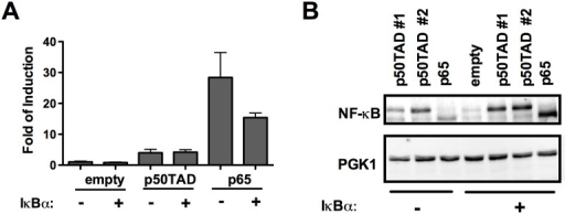 IκBα inhibits p65-dependent transactivation in yeast.The highly responsive M2 strain was used to test the impact of co-expressing IκBα with the NF-κB proteins p50TAD or p65. A) Luciferase assays results were obtained and plotted as described in Fig 1. Control transformants lacking the IκBα expression construct were obtained using the pRS315 empty vector. Cells were cultured in 0.032% galactose for 16 hours to achieve moderate expression of p50TAD or p65. IκBα is expressed under the constitutive ADH1 promoter. For all conditions the light units were normalize for the optical density of the cultures. The relative luciferase activity, obtained with cells transformed with empty vectors was set to 1 and used to obtained the fold of reporter induction due to the expression of NF-κB proteins. Bars plot the average and standard errors of four biological replicates. B) A western blot image revealing the impact of IκBα on p50TAD or p65 protein levels. Transformants with two p50TAD expression vectors that differ for the selection marker gene (LEU2 for p50TAD #1 and TRP1 for p50TAD #2) were included. PGK1 was used as loading control.
