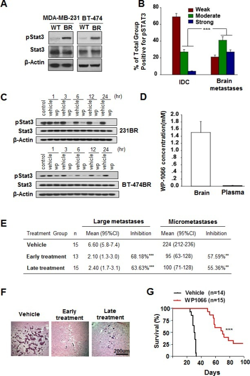 Stat3 activation in breast cancer brain metastases and WP1066 inhibited brain metastasis(A) pStat3, Stat3, and β-actin protein expression levels in MDA-MB-231 and BT-474 cells. (B) Expression levels of pStat3 in 90 IDC and 89 breast cancer brain metastasis specimens. ***, P<0.001. (C) MDA-MB-231BR cells and BT-474BR cells were treated with 1 μM WP1066 (wp) for the indicated times, and whole-cell lysates were subjected to western blotting for pStat3 (Tyr705), Stat3 and β-actin. (D) Concentration of WP1066 in mouse brain tissue and plasma after WP1066 treatment for 72 hours. (E) The effect of WP1066 on the brain metastases of MDA-MB231-BR cell in vivo. 5×105 MDA-M-B231-BR cells were injected into the Left ventricle of the heart of nude mice. Results were shown for one representative experiment of two. **, P<0.01, ***, P<0.001. (F) HE-stained sections of brain metastases of MDA-MB-231BR cells in mice. (G) Survival of mice injected with MDA-MB-231BR cells and given later WP1066 treatment. Data are presented from the day of injection to day 100. Survival of mice was evaluated by Kaplan-Meier analysis. ***, P<0.001.