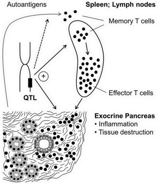 Proposed involvement of memory T cells in the pathogenesis of AIP.Autoantigens from acinar cells and pancreatic duct epithelium trigger activation of T cells, which may differentiate into T effector cells or memory T cells. The first population mediates destruction of pancreatic tissue, whereas the latter type of T cells perpetuates and enhances autoimmune reactions upon antigen re-exposure. Relative frequencies of splenic leukocyte subsets, development of AIP (pancreatic damage) and possibly expression/processing of autoantigens are controlled by QTLs. Overlapping QTLs for certain immune cell phenotypes and AIP suggest the existence of pathogenetic links.