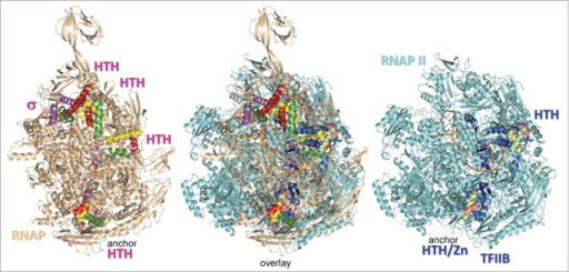Structural alignment of initiating bacterial RNAP (PDB 4G7O) and yeast RNAP II (PDB 4BBS) complexes shows that σ factors and TFIIB occupy homologous positions.9,17 HTH motifs are colored yellow (H1), red (H2) and green (H3). Brighter colors are used for σ and duller shades for TFIIB. TFIIB CLR/HTH2 was placed by modeling, based on its predicted position bound to the ds BREup DNA anchor, which is missing in the structure.