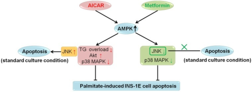 Summary for regulations of AICAR and metformin on INS-1E cell apoptosis under palmitate-challenged and standard culture conditions.