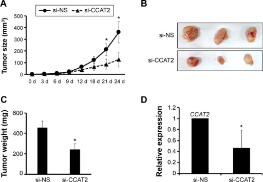 Suppressing CCAT2 expression inhibits tumorigenesis in vivo.Notes: The tumor xenograft model was performed to investigate the effects of si-CCAT2 on tumor formation. (A) Tumor size was calculated every 3 days after 7 days of injection. The data showed si-CCAT2 inhibited the tumor growth of MCF-7 cells in vivo. *P<0.05 vs the control. (B) Tumors were harvested at day 24, and the actual tumor size after harvest was shown. The data showed the xenograft tumors grew slower in the si-CCAT2 group. (C) Tumors were harvested and weighed at day 24. The data showed the tumor weight was less in the si-CCAT2 group. *P<0.05 vs the control (D) The relative expression level of CCAT2 was detected via RT-qPCR. The data showed the expression was decreased in the si-CCAT2 group. *P<0.05 versus the control.Abbreviations: si-CCAT2, siRNA specifically targeting CCAT2; d, day(s); si-NS, nonspecific siRNA.