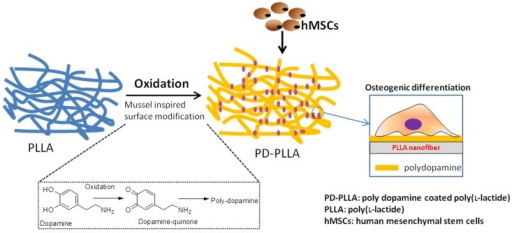 The effect of polydopamine coated Poly (l-lactide) (PLLA) fibers on the adhesion, proliferation and osteogenic differentiation of human mesenchymal stem cells (hMSCs). Adapted with permission from [36]. Copyright © Elsevier, 2012.