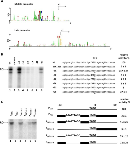 Promoter specificity determinants of nvRNAP. (A) Sequence logos of phiKZ middle and late promoters. (B) Analysis of the phiKZ late promoter consensus motif 5′-TATG-3′ by point mutations. Left panel – in vitro run-off transcription by nvRNAP from late promoter P119L and its derivatives. RO – run-off RNA products. Right panel – an alignment of nucleotide sequences of wild-type and mutant promoters (introduced substitutions are shown in bold typeface). The +1 start site is underlined. (C) Mutational analysis of upstream and downstream sequences of phiKZ late promoter P119L. Left panel – in vitro run-off transcription by nvRNAP from chimeric templates based on phiKZ P78M middle and P119L late promoters. RO – run-off RNA products. Right panel – schematic representation of hybrid promoters used. The P119L sequence is shown by a thin line; the P78M is shown by a thick line. Numbers above the scheme indicate upstream (position −53 with respect to the start site) and downstream (position +51) boundaries of promoter fragments used. The late consensus TATG motif with the +1 start of transcription is underlined. The putative middle promoter conserved motif 5′-AAAATTACC-3′ is also indicated. The numbers at the right indicate the transcription activities relative to the positive control (wild-type P119L). Average values and standard deviations from three independent experiments are presented.